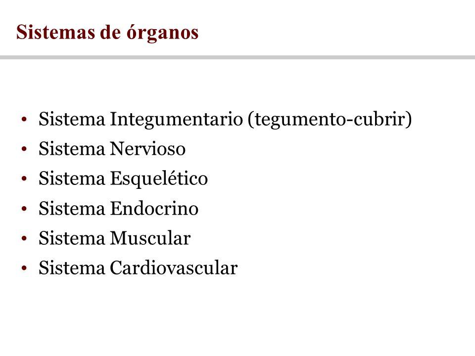 Sistema Integumentario (tegumento-cubrir) Sistema Nervioso Sistema Esquelético Sistema Endocrino Sistema Muscular Sistema Cardiovascular Sistemas de órganos