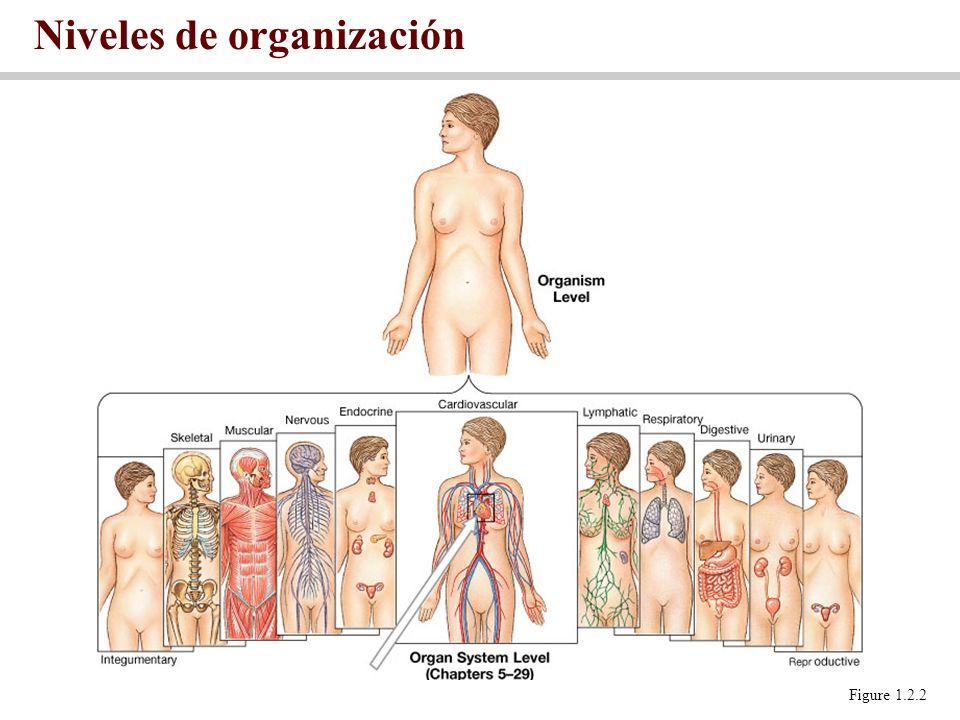 Niveles de organización Figure 1.2.2