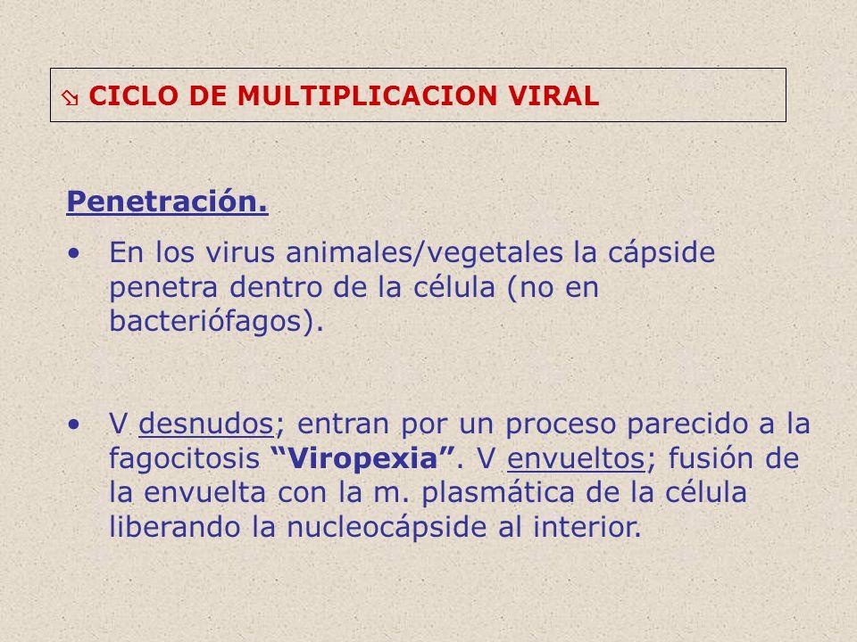 CICLO DE MULTIPLICACION VIRAL Penetración. En los virus animales/vegetales la cápside penetra dentro de la célula (no en bacteriófagos). V desnudos; e
