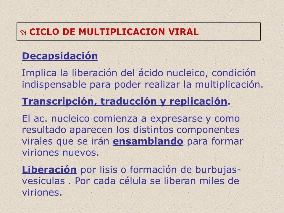 CICLO DE MULTIPLICACION VIRAL Decapsidación Implica la liberación del ácido nucleico, condición indispensable para poder realizar la multiplicación.