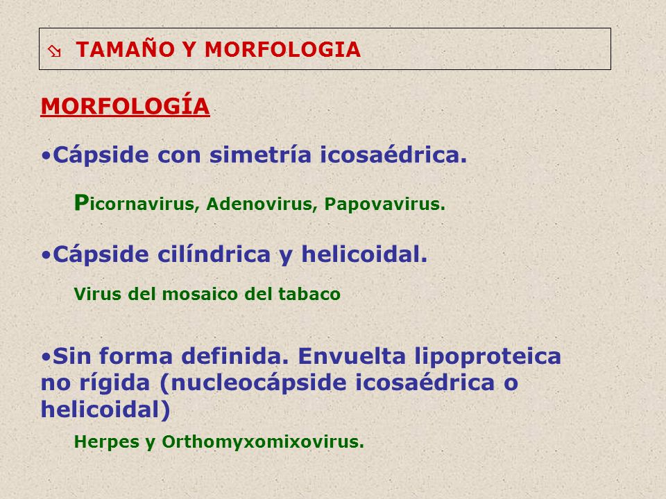 TAMAÑO Y MORFOLOGIA MORFOLOGÍA Cápside con simetría icosaédrica. P icornavirus, Adenovirus, Papovavirus. Cápside cilíndrica y helicoidal. Virus del mo
