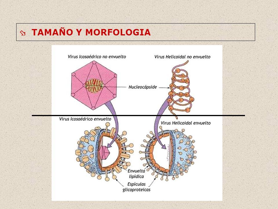 ESTRUCTURA 1.Ácido Nucleico 2.Cápside 3.Envuelta 4.Otros componentes
