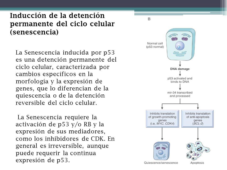 Inducción de la detención permanente del ciclo celular (senescencia) La Senescencia inducida por p53 es una detención permanente del ciclo celular, ca