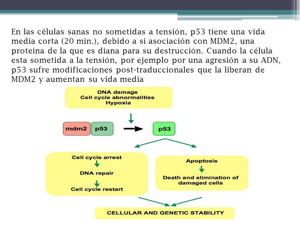 En las células sanas no sometidas a tensión, p53 tiene una vida media corta (20 min.), debido a si asociación con MDM2, una proteína de la que es dian