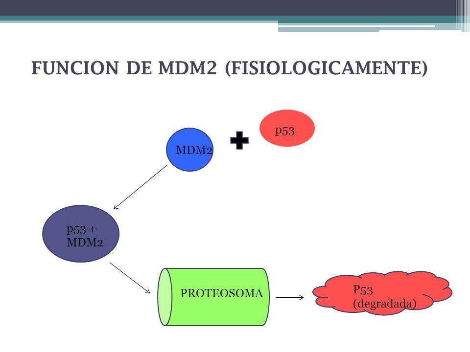 FUNCION DE MDM2 (FISIOLOGICAMENTE) p53 MDM2 p53 + MDM2 PROTEOSOMA P53 (degradada)
