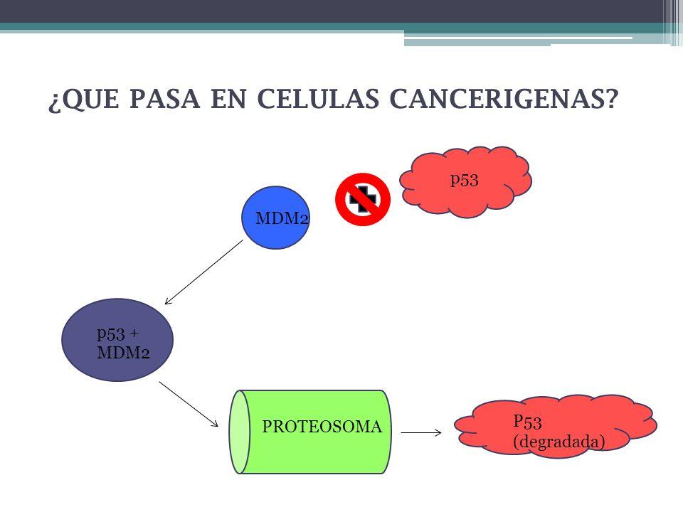¿QUE PASA EN CELULAS CANCERIGENAS? p53 MDM2 p53 + MDM2 PROTEOSOMA P53 (degradada)