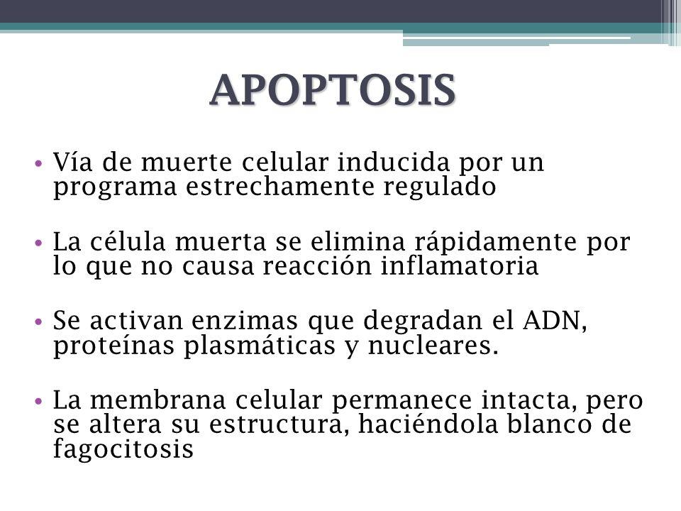 APOPTOSIS Vía de muerte celular inducida por un programa estrechamente regulado La célula muerta se elimina rápidamente por lo que no causa reacción i