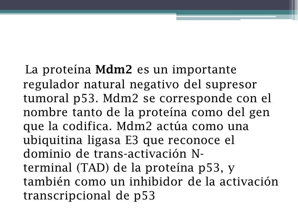 La proteína Mdm2 es un importante regulador natural negativo del supresor tumoral p53. Mdm2 se corresponde con el nombre tanto de la proteína como del