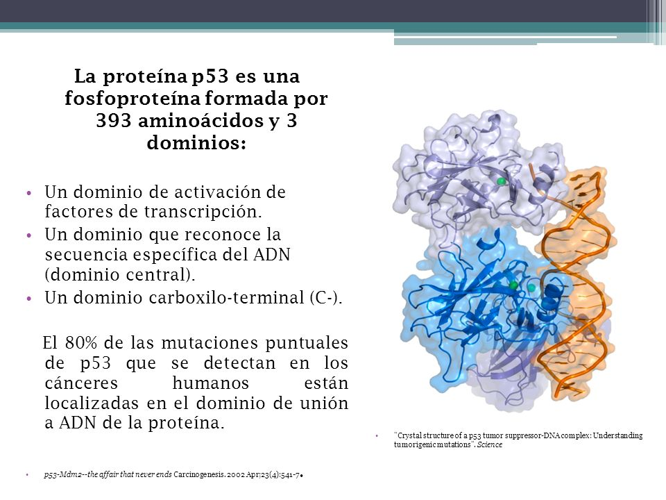 La proteína p53 es una fosfoproteína formada por 393 aminoácidos y 3 dominios : Un dominio de activación de factores de transcripción. Un dominio que