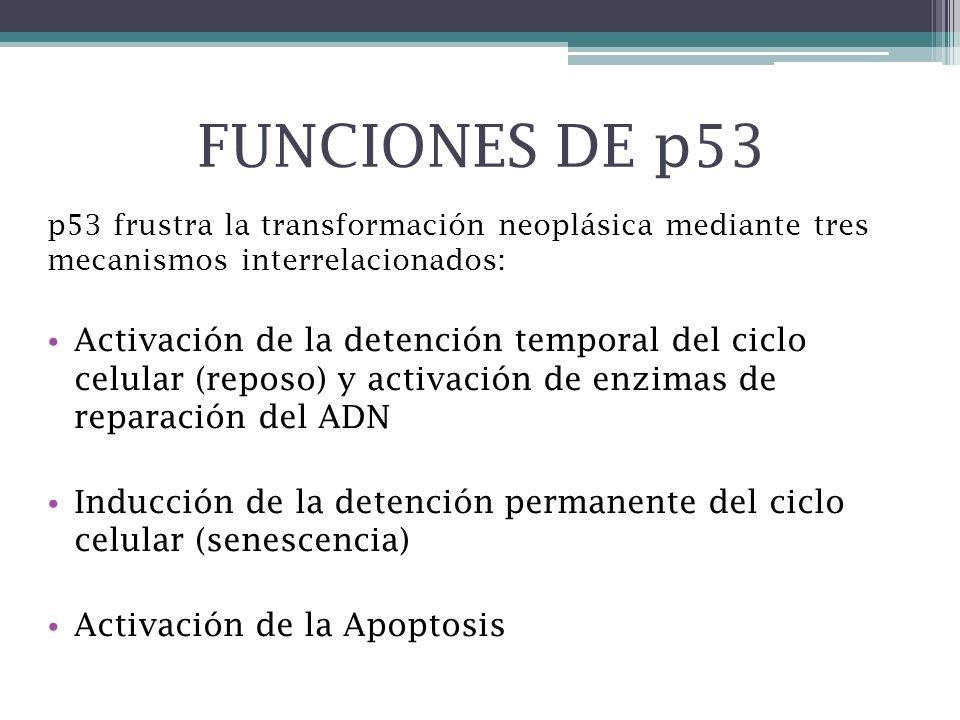 FUNCIONES DE p53 p53 frustra la transformación neoplásica mediante tres mecanismos interrelacionados: Activación de la detención temporal del ciclo ce