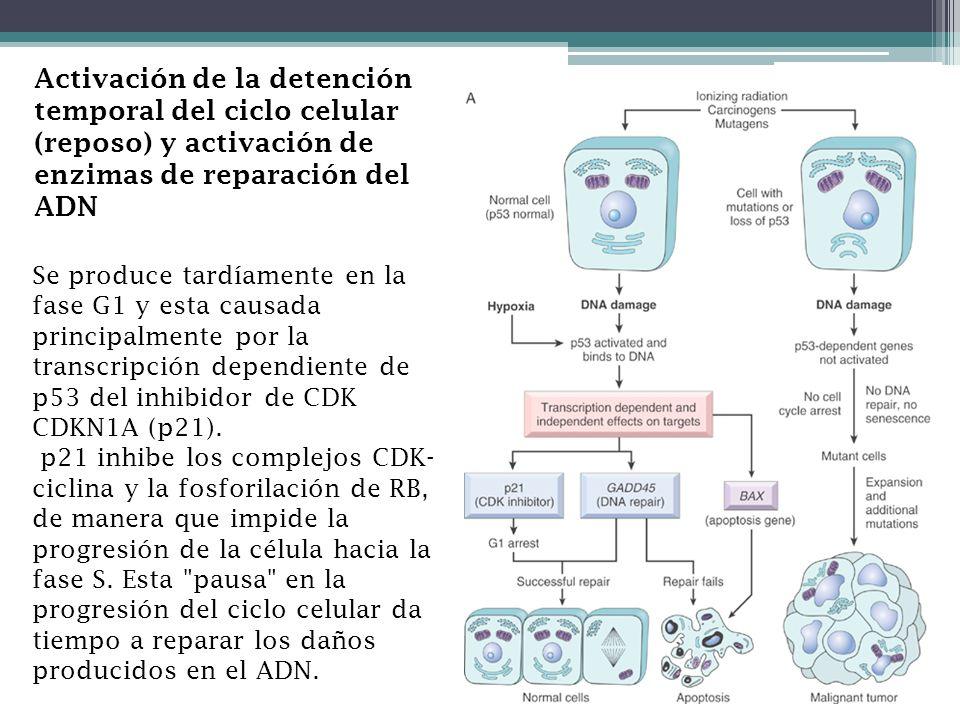 Activación de la detención temporal del ciclo celular (reposo) y activación de enzimas de reparación del ADN Se produce tardíamente en la fase G1 y es