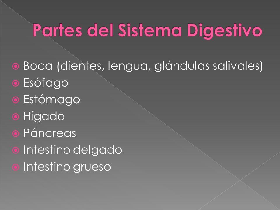 Boca (dientes, lengua, glándulas salivales) Esófago Estómago Hígado Páncreas Intestino delgado Intestino grueso