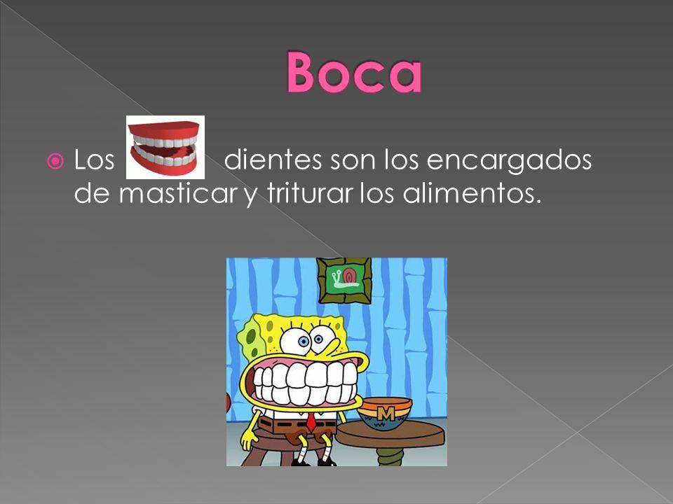 Los dientes son los encargados de masticar y triturar los alimentos.