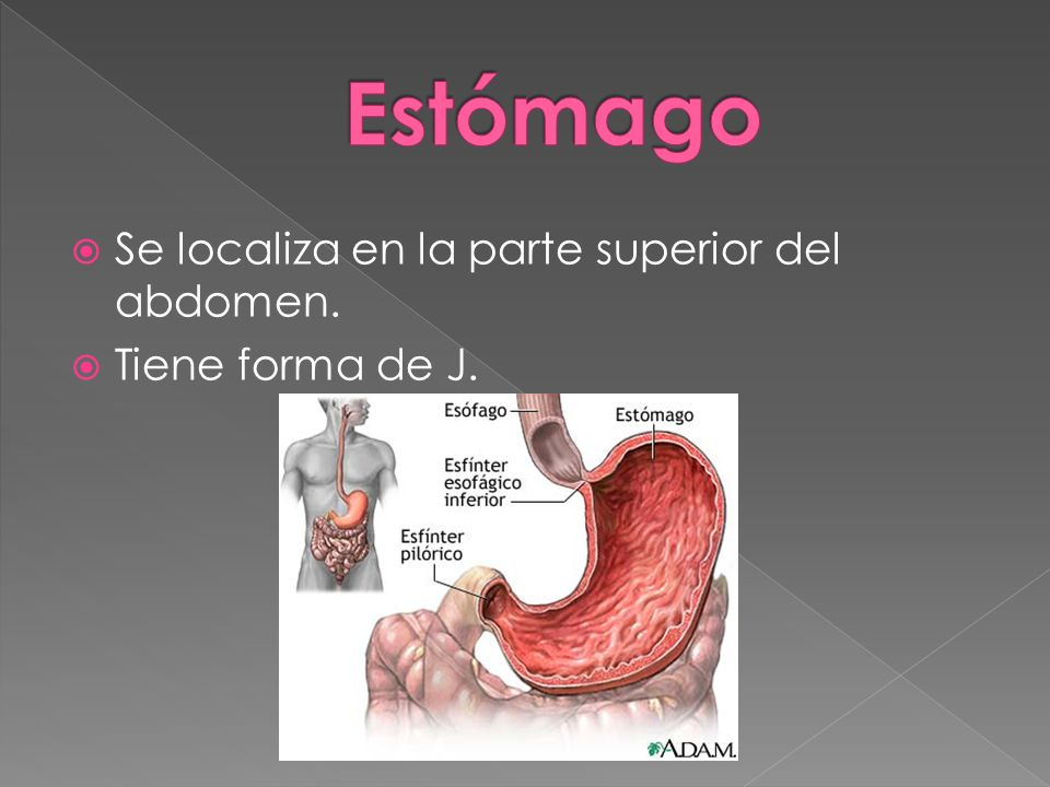 Se localiza en la parte superior del abdomen. Tiene forma de J.