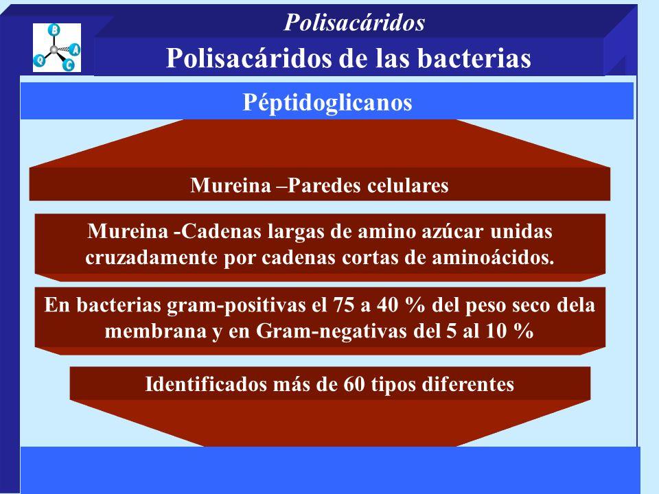 Mureina –Paredes celulares Identificados más de 60 tipos diferentes Péptidoglicanos Mureina -Cadenas largas de amino azúcar unidas cruzadamente por cadenas cortas de aminoácidos.