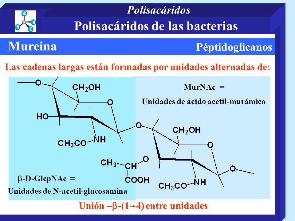 Péptidoglicanos Mureina Las cadenas largas están formadas por unidades alternadas de: Unidades de N-acetil-glucosamina Unión – -(1 4) entre unidades MurNAc = -D-GlcpNAc = Unidades de ácido acetil-murámico Polisacáridos de las bacterias Polisacáridos
