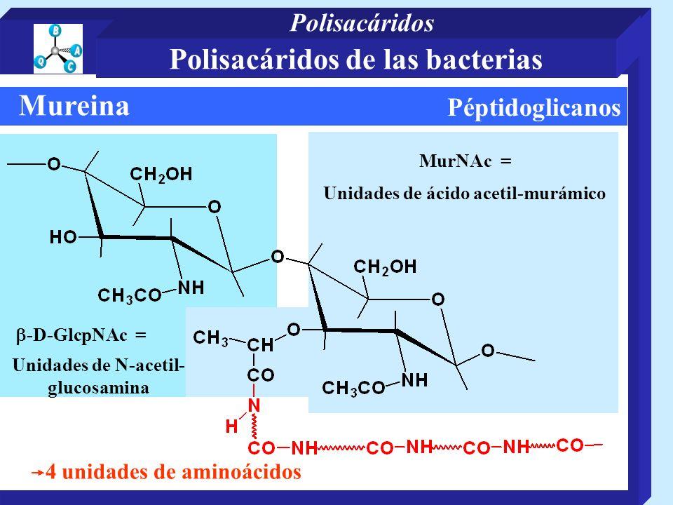Péptidoglicanos Mureina Unidades de N-acetil- glucosamina 4 unidades de aminoácidos MurNAc = -D-GlcpNAc = Unidades de ácido acetil-murámico Polisacári