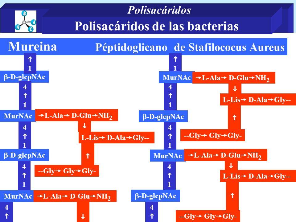 Péptidoglicano de Stafilococus Aureus Mureina -D-glcpNAc 1 4 1 MurNAc 4 1 4 4 1 -D-glcpNAc MurNAc L-Ala D-Glu NH 2 1 4 1 MurNAc 4 1 4 4 1 -D-glcpNAc MurNAc L-Lis D-Ala Gly-- L-Ala D-Glu NH 2 --Gly Gly Gly- -D-glcpNAc L-Lis D-Ala Gly-- --Gly Gly Gly- Polisacáridos de las bacterias Polisacáridos