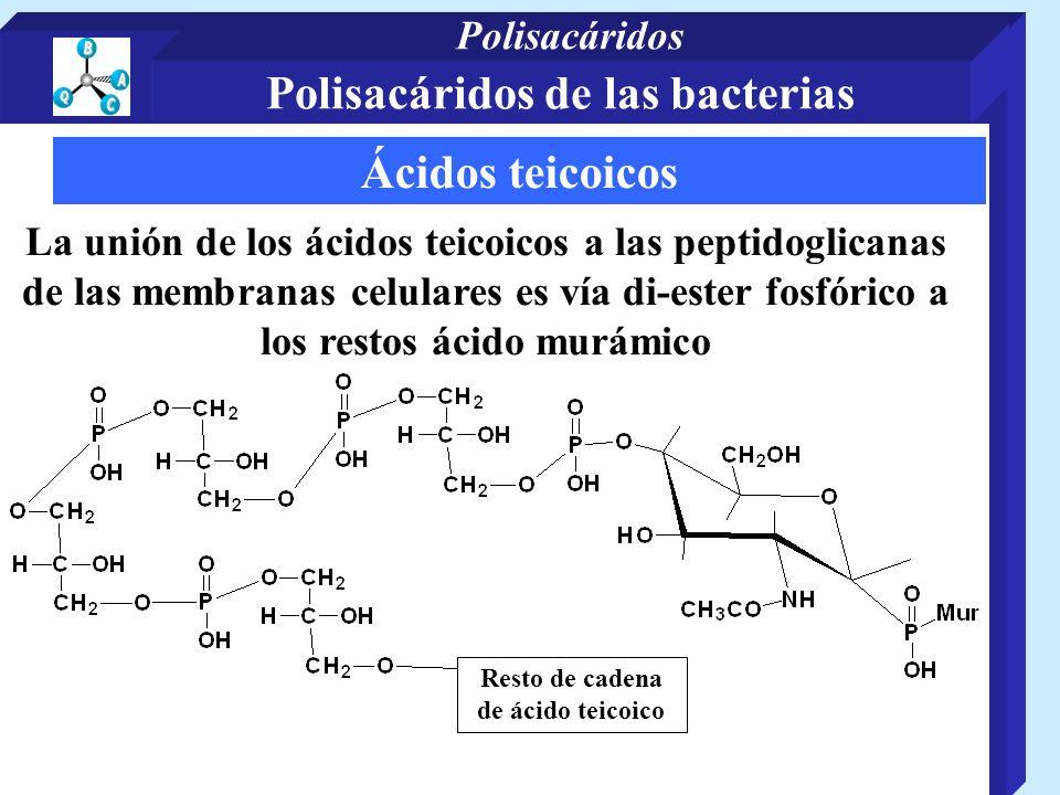 Ácidos teicoicos La unión de los ácidos teicoicos a las peptidoglicanas de las membranas celulares es vía di-ester fosfórico a los restos ácido murámico Resto de cadena de ácido teicoico Polisacáridos de las bacterias Polisacáridos