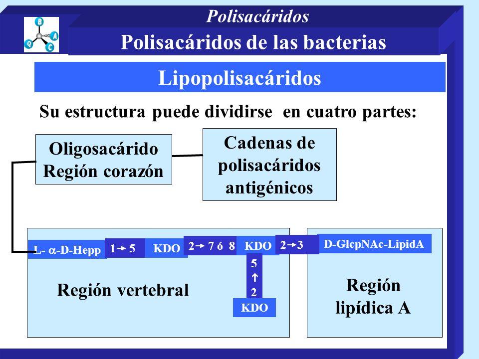 Lipopolisacáridos Su estructura puede dividirse en cuatro partes: Cadenas de polisacáridos antigénicos Oligosacárido Región corazón Región vertebral L- -D-Hepp 1 5 KDO 2 7 ó 8 KDO 5 2 KDO D-GlcpNAc-LipidA 2 3 Región lipídica A Polisacáridos de las bacterias Polisacáridos