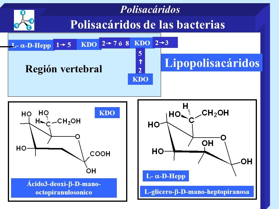 Lipopolisacáridos Región vertebral L- -D-Hepp 1 5 KDO 2 7 ó 8 KDO 5 2 KDO 2 3 L- -D-Hepp KDO Ácido3-deoxi- -D-mano- octopiranulosonico L-glicero- -D-m