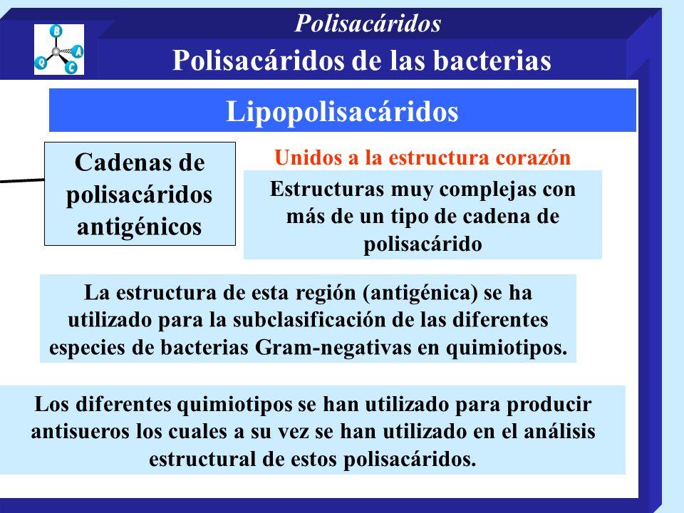 Lipopolisacáridos Cadenas de polisacáridos antigénicos Unidos a la estructura corazón Estructuras muy complejas con más de un tipo de cadena de polisacárido Los diferentes quimiotipos se han utilizado para producir antisueros los cuales a su vez se han utilizado en el análisis estructural de estos polisacáridos.