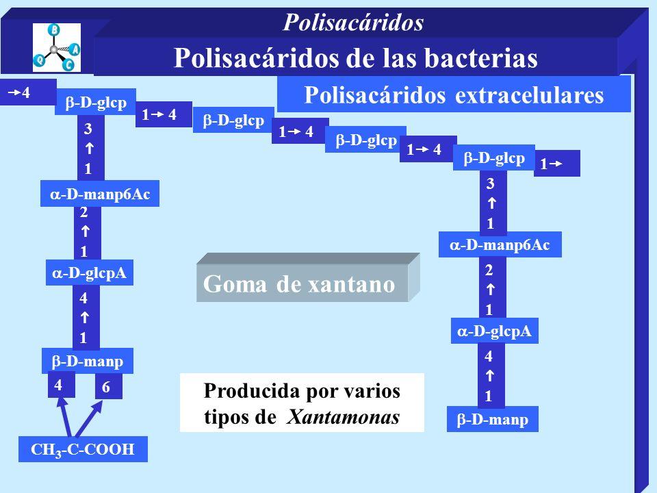 Polisacáridos extracelulares 2 1 -D-manp -D-glcp 4 1 4 -D-glcpA -D-manp6Ac 1 CH 3 -C-COOH -D-manp6Ac 3 1 -D-glcp 1 4 -D-glcp 4 1 6 4 1 4 -D-glcp 3 1 2 1 -D-manp -D-glcpA 4 1 Producida por varios tipos de Xantamonas Goma de xantano Polisacáridos de las bacterias Polisacáridos