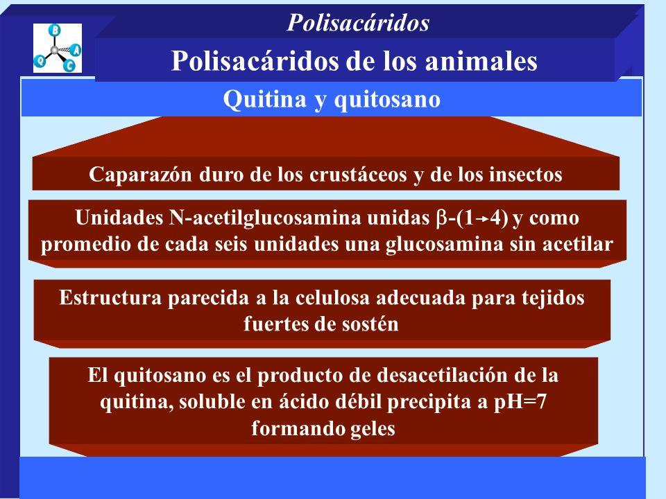 Caparazón duro de los crustáceos y de los insectos El quitosano es el producto de desacetilación de la quitina, soluble en ácido débil precipita a pH=7 formando geles Quitina y quitosano Unidades N-acetilglucosamina unidas -(1 4) y como promedio de cada seis unidades una glucosamina sin acetilar Estructura parecida a la celulosa adecuada para tejidos fuertes de sostén Polisacáridos de los animales Polisacáridos