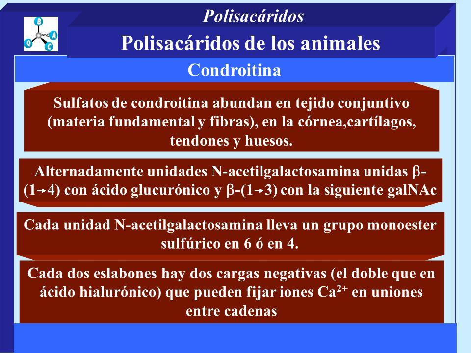 Sulfatos de condroitina abundan en tejido conjuntivo (materia fundamental y fibras), en la córnea,cartílagos, tendones y huesos. Cada dos eslabones ha