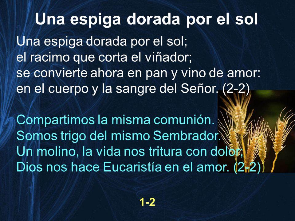 Una espiga dorada por el sol; el racimo que corta el viñador; se convierte ahora en pan y vino de amor: en el cuerpo y la sangre del Señor. (2-2) Comp