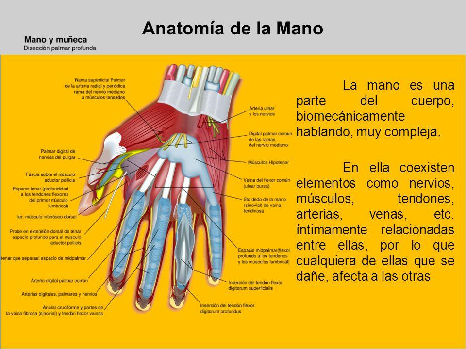 Anatomía de la Mano La mano es una parte del cuerpo, biomecánicamente hablando, muy compleja. En ella coexisten elementos como nervios, músculos, tend