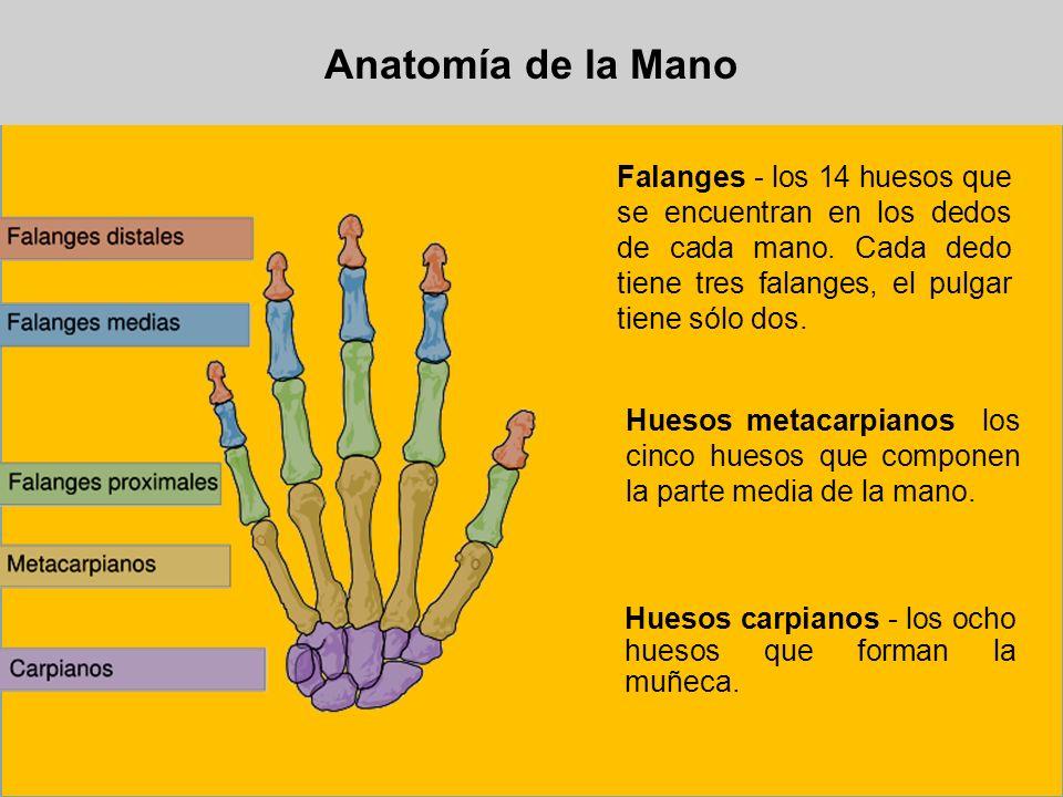 Anatomía de la Mano Falanges - los 14 huesos que se encuentran en los dedos de cada mano. Cada dedo tiene tres falanges, el pulgar tiene sólo dos. Hue
