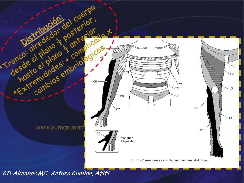 CD Alumnos MC. Arturo Cuellar, Afifi Distribución: *Tronco: alrededor del cuerpo desde el plano ½ posterior, hasta el plano ½ anterior. *Extremidades: