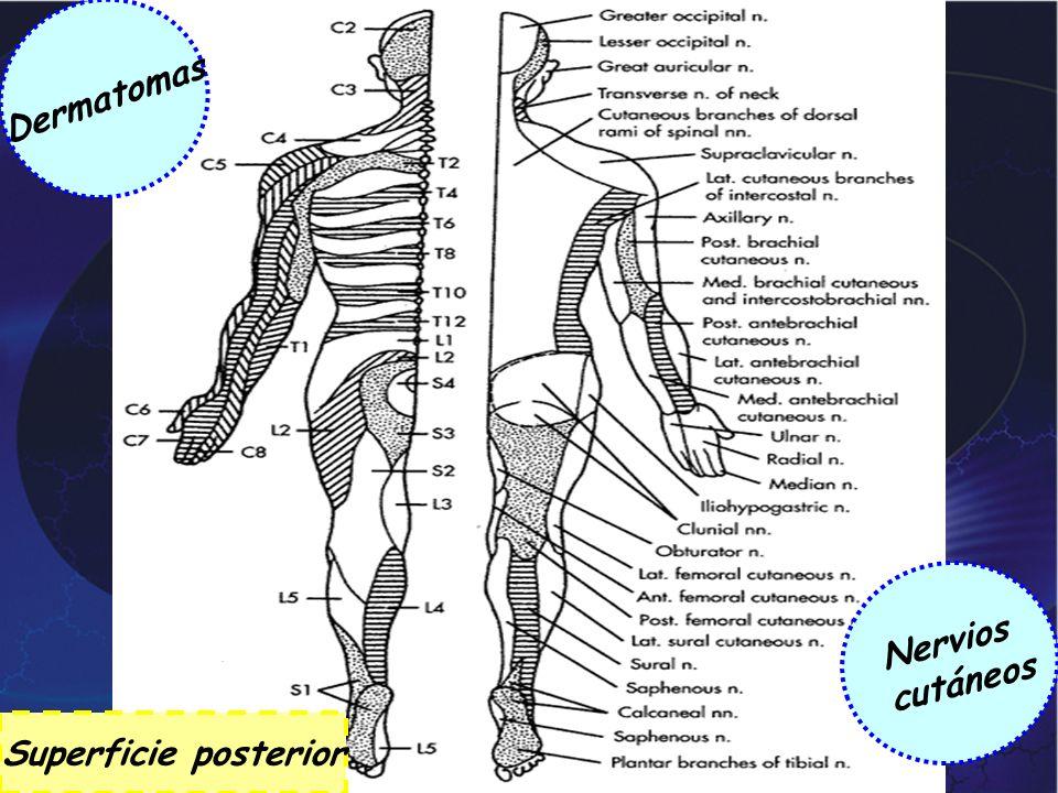 Dermatomas Nervios cutáneos Superficie posterior