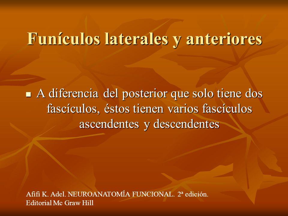 Funículos laterales y anteriores A diferencia del posterior que solo tiene dos fascículos, éstos tienen varios fascículos ascendentes y descendentes A