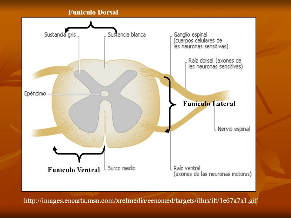 Funículo Ventral Funículo Lateral Funículo Dorsal http://images.encarta.msn.com/xrefmedia/eencmed/targets/illus/ilt/1e67a7a1.gif