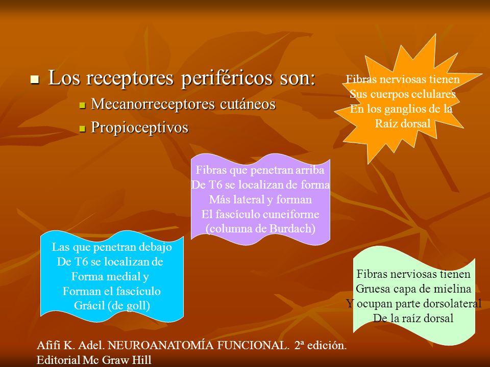 Los receptores periféricos son: Los receptores periféricos son: Mecanorreceptores cutáneos Mecanorreceptores cutáneos Propioceptivos Propioceptivos Fi
