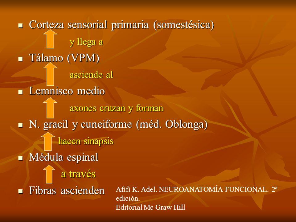 Corteza sensorial primaria (somestésica) Corteza sensorial primaria (somestésica) y llega a y llega a Tálamo (VPM) Tálamo (VPM) asciende al asciende a