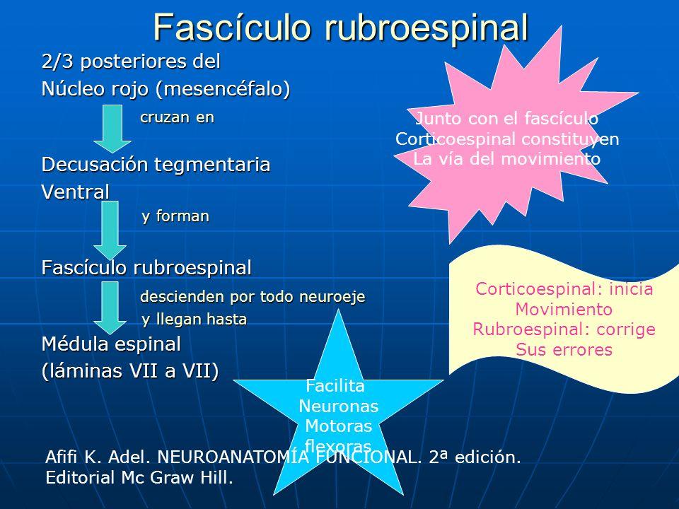 Fascículo rubroespinal 2/3 posteriores del Núcleo rojo (mesencéfalo) cruzan en cruzan en Decusación tegmentaria Ventral y forman y forman Fascículo ru