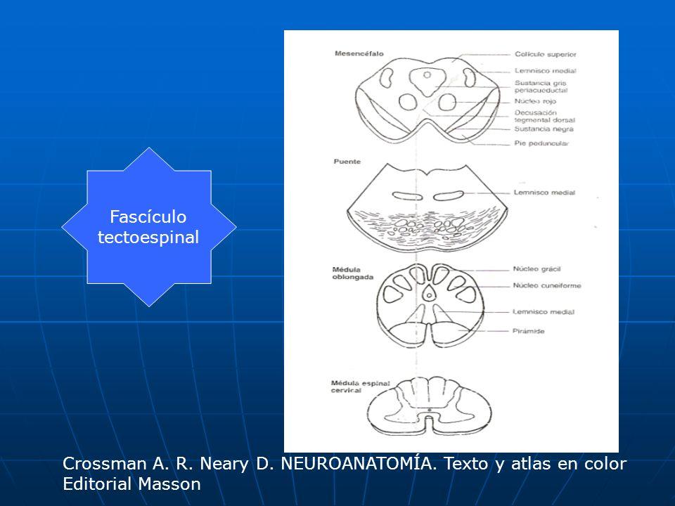 Fascículo tectoespinal Crossman A. R. Neary D. NEUROANATOMÍA. Texto y atlas en color Editorial Masson