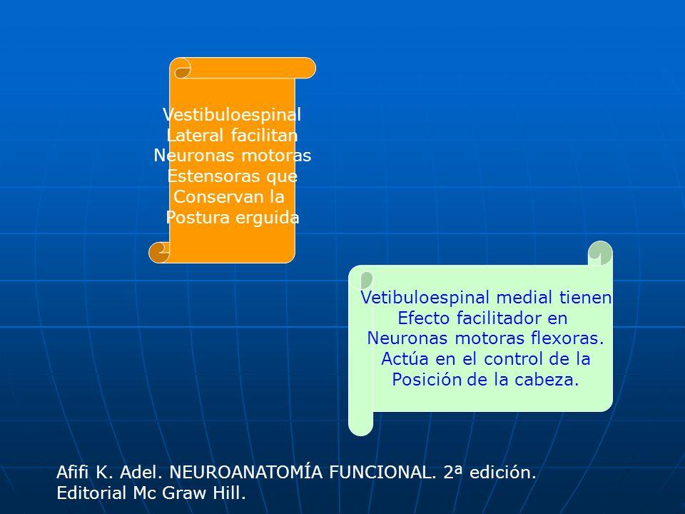 Vestibuloespinal Lateral facilitan Neuronas motoras Estensoras que Conservan la Postura erguida Vetibuloespinal medial tienen Efecto facilitador en Ne