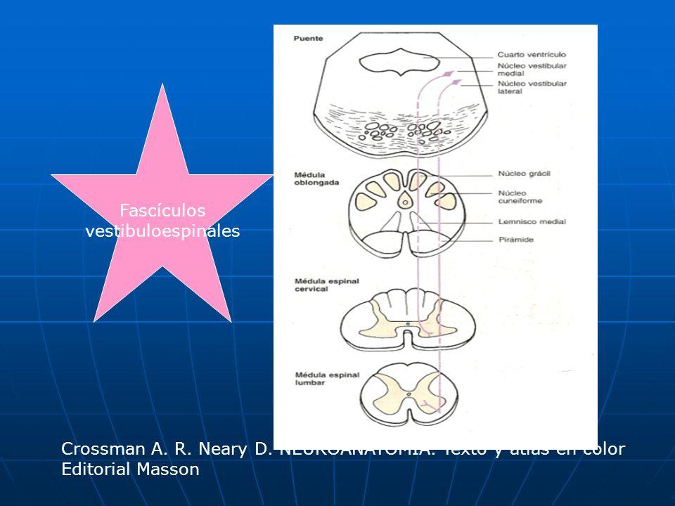 Fascículos vestibuloespinales Crossman A. R. Neary D. NEUROANATOMÍA. Texto y atlas en color Editorial Masson