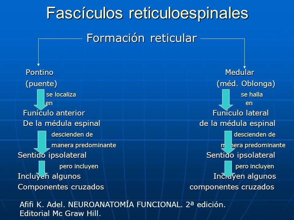 Fascículos reticuloespinales Formación reticular Formación reticular Pontino Medular Pontino Medular (puente) (méd. Oblonga) (puente) (méd. Oblonga) s