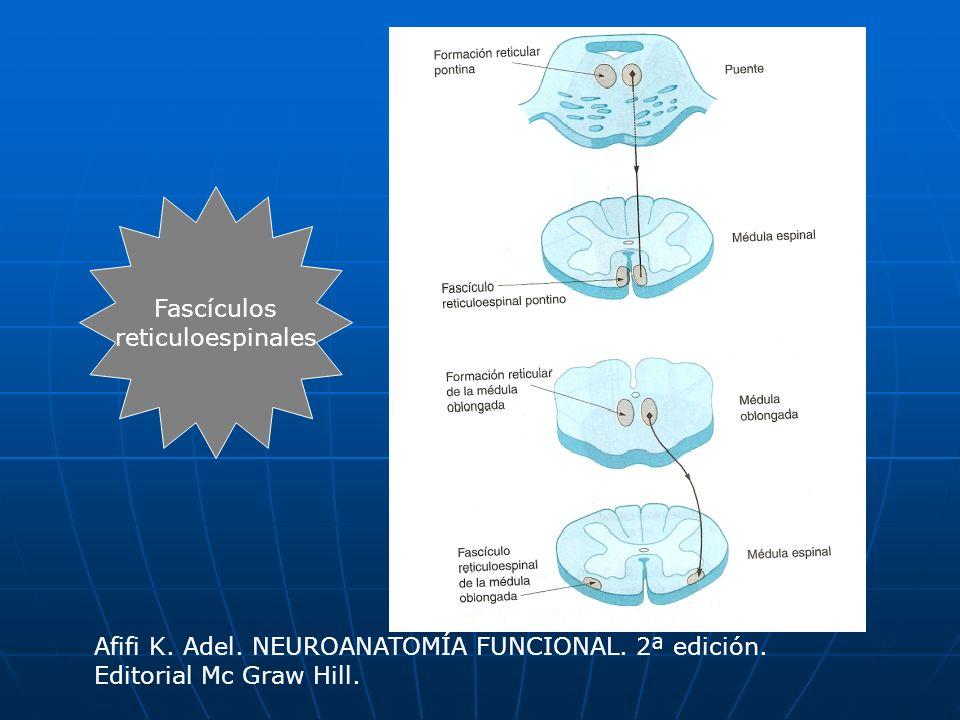 Fascículos reticuloespinales Afifi K. Adel. NEUROANATOMÍA FUNCIONAL. 2ª edición. Editorial Mc Graw Hill.