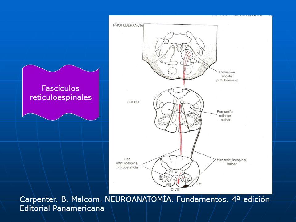 Fascículos reticuloespinales Carpenter. B. Malcom. NEUROANATOMÍA. Fundamentos. 4ª edición Editorial Panamericana