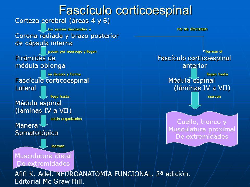 Fascículo corticoespinal Corteza cerebral (áreas 4 y 6) los axones descienden a no se decusan los axones descienden a no se decusan Corona radiada y b