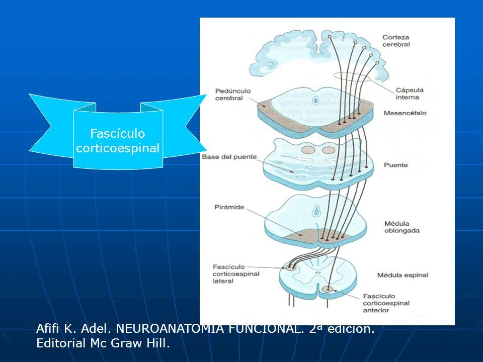 Fascículos reticuloespinales Afifi K.Adel. NEUROANATOMÍA FUNCIONAL.