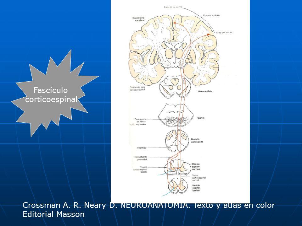 Fascículo corticoespinal Crossman A. R. Neary D. NEUROANATOMÍA. Texto y atlas en color Editorial Masson