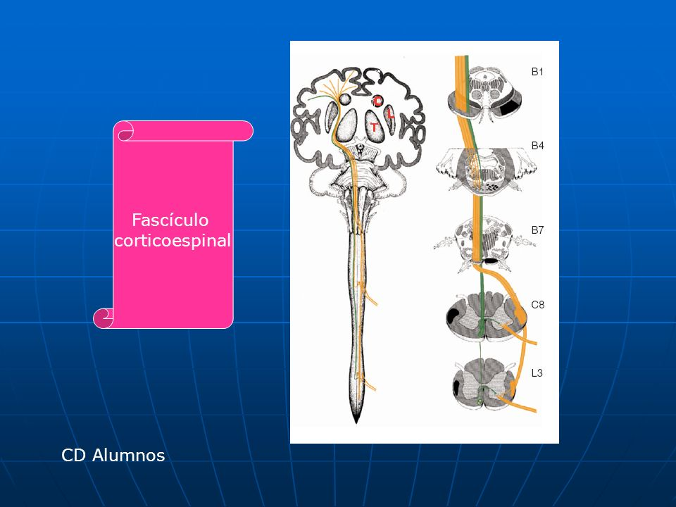Fascículo rubroespinal 2/3 posteriores del Núcleo rojo (mesencéfalo) cruzan en cruzan en Decusación tegmentaria Ventral y forman y forman Fascículo rubroespinal descienden por todo neuroeje descienden por todo neuroeje y llegan hasta y llegan hasta Médula espinal (láminas VII a VII) Junto con el fascículo Corticoespinal constituyen La vía del movimiento Facilita Neuronas Motoras flexoras Corticoespinal: inicia Movimiento Rubroespinal: corrige Sus errores Afifi K.