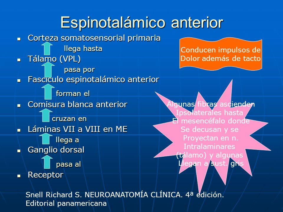 Espinotalámico anterior Corteza somatosensorial primaria Corteza somatosensorial primaria llega hasta llega hasta Tálamo (VPL) Tálamo (VPL) pasa por p